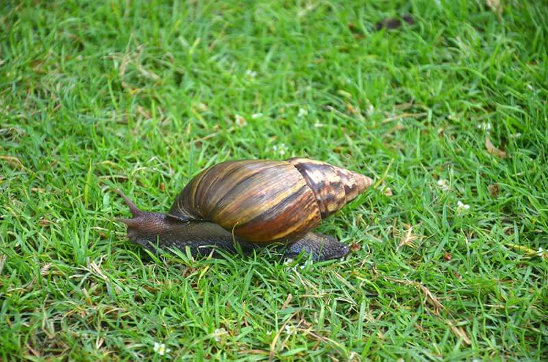 From pet to threat the giant african snail its estimated that agricultural losses would have reached 11 million if the pest had not been destroyed2 in 2011 the giant african snail was again freerunsca Gallery