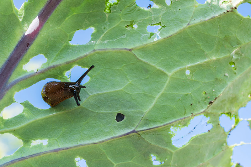 Controls should be applied as soon as possible to limit snail and slug damage