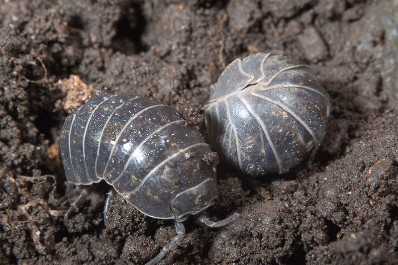pillbug-roly-poly-in-dirt