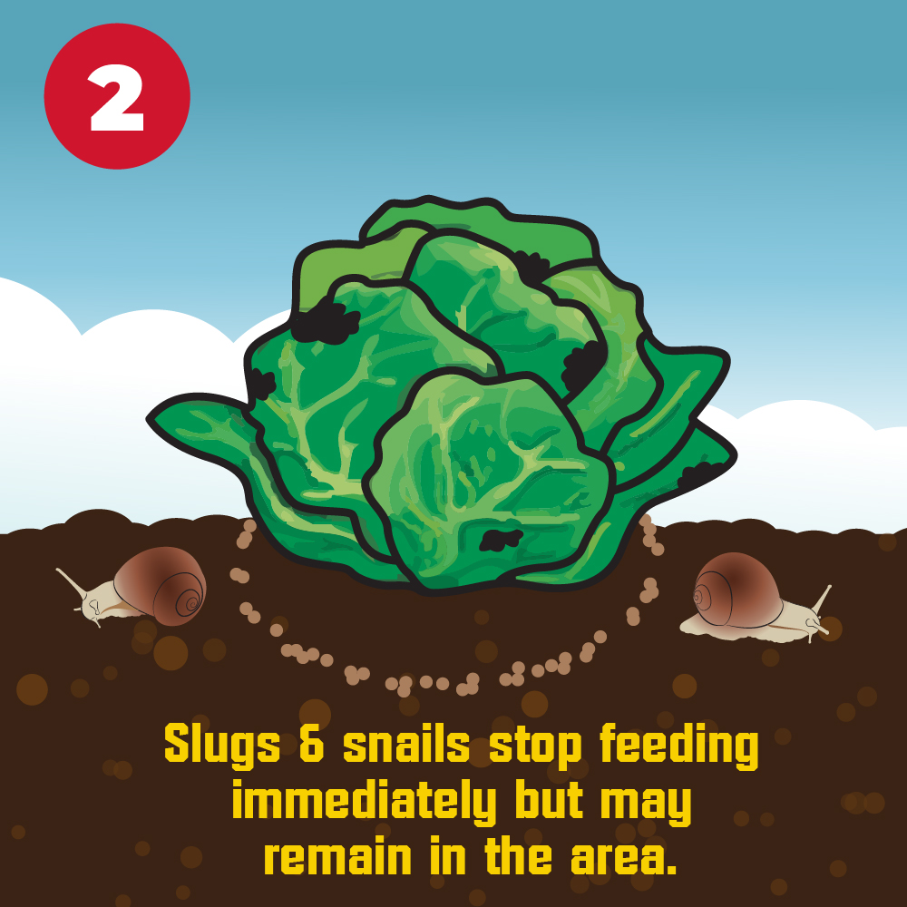 Slugs and snails stop feeding immediately but may remain in the area